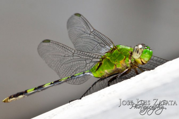 Tulish or Dragonfly