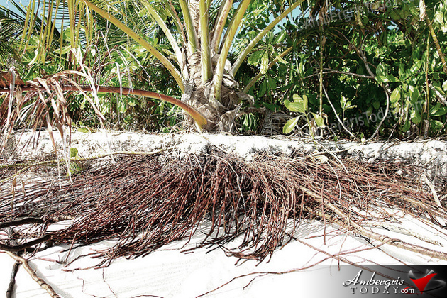 Coconut Roots