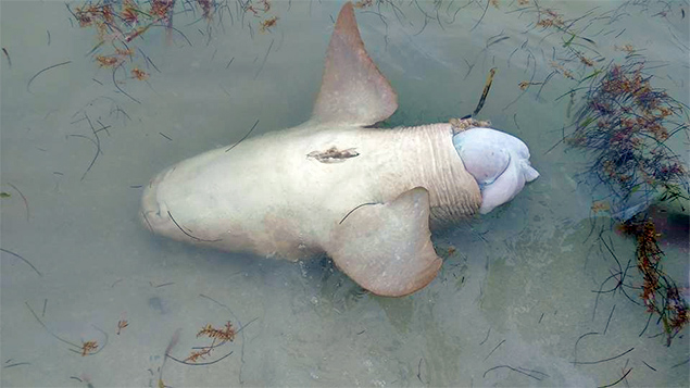 Hol Chan Reports Senseless (Illegal) Killing of Nurse Shark