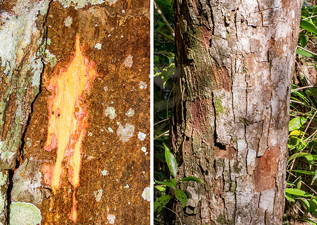 New Tree Species Discovered in Toledo, Belize