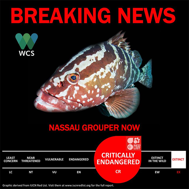 Nassau Grouper Is Now Critically Endangered