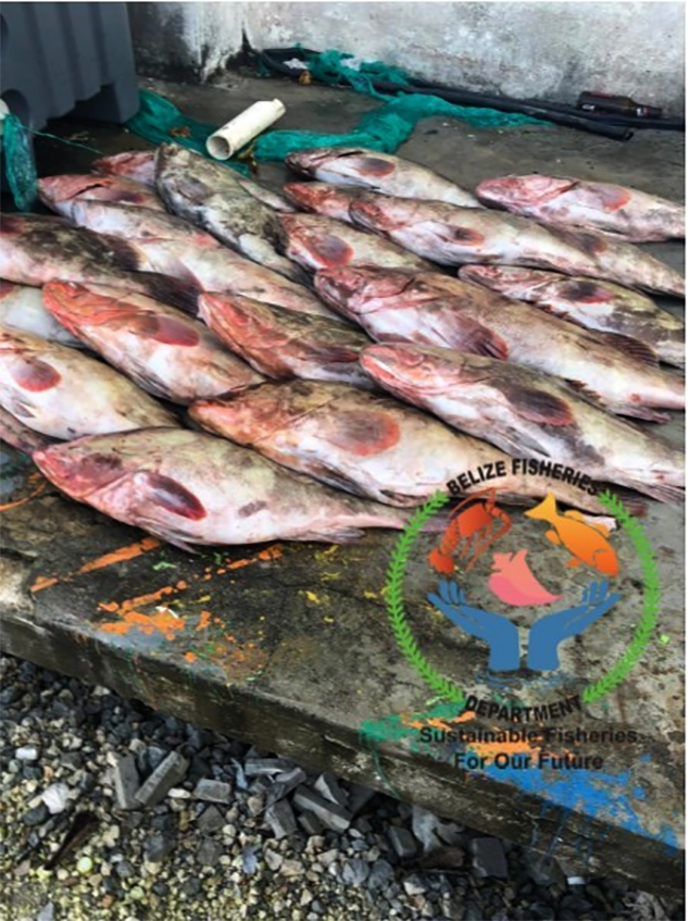 Illegal Harvesting of Nassau Grouper