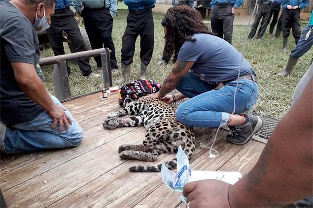 Captured Jaguar Relocated to Belize Zoo
