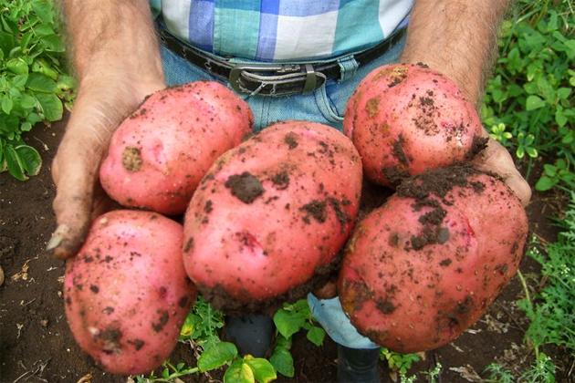 Belize Agricultural Show