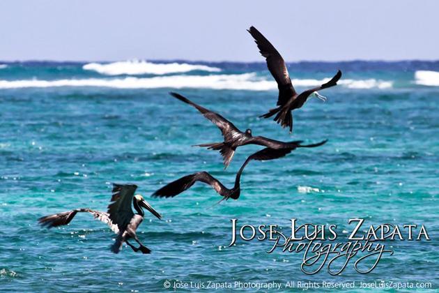Pelicans take flight in San Pedro, Ambergris Caye, Belize