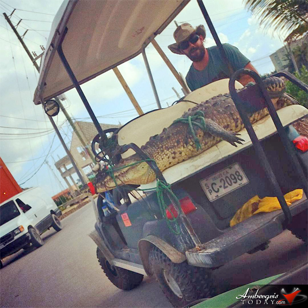 Island Life - Crocodile Goes on Golf Cart Ride, Chris Summers