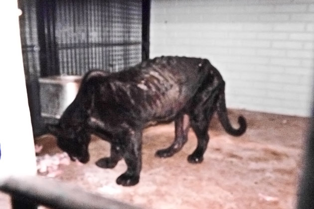 Captive Black Jaguar rescuded from malnourishment