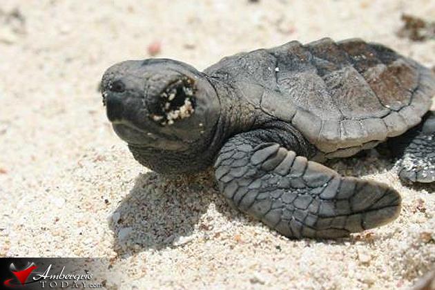 Marine Turtle Conservation in San Pedro