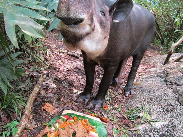 Belize's Iconic April the Tapir Dies at 30