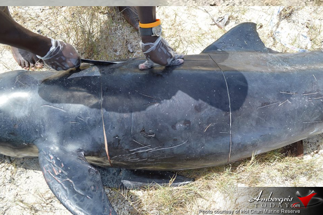 Authorities Assist Stranded Juvenile Pilot Whale in Ambergris Caye