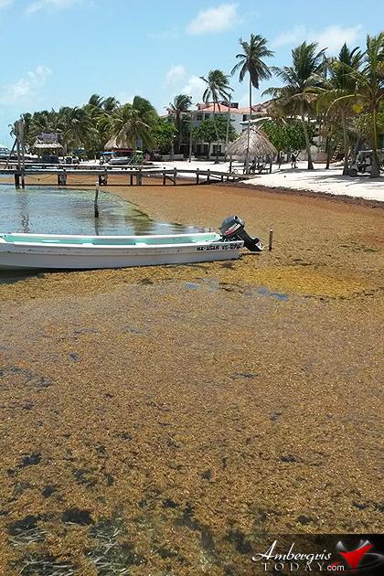 Where S The Beach Sargassum Problems Ambergris Today