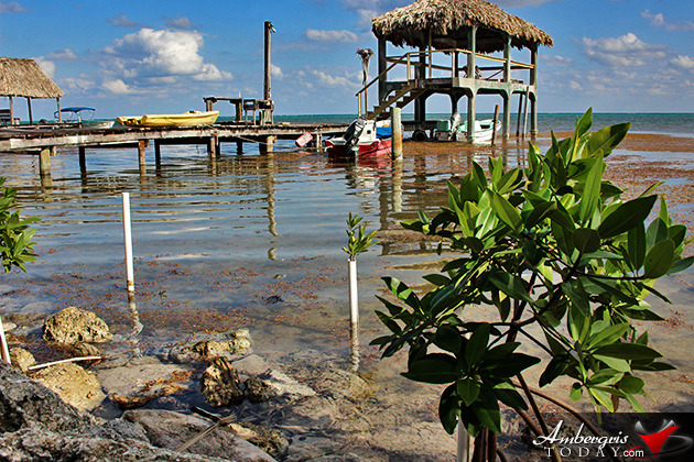 Resident Couple Sees Results of Mangrove Reforestation in Ambergris Caye