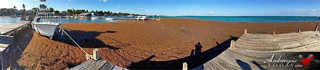 More Sargasso (Seaweed) Invading Ambergris Caye