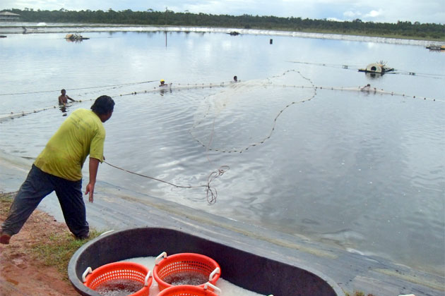 Shrimp Farming Industry Grows as Belize Shrimp Growers Achieve ASC Certification