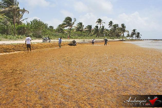 Man vs. Sargasso! One Islander's Idea to Build More Beach