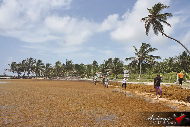 Man vs. Sargasso! One Islander's Idea to Build More Beach