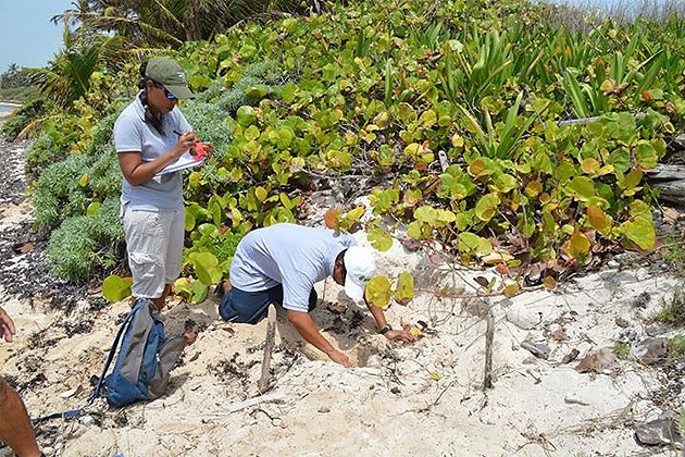More Than 102 Sea Turtle Nests Identified on Ambergris Caye