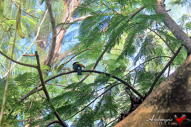 Rare Toucan Bird Sighting in San Pedro, Ambergris Caye