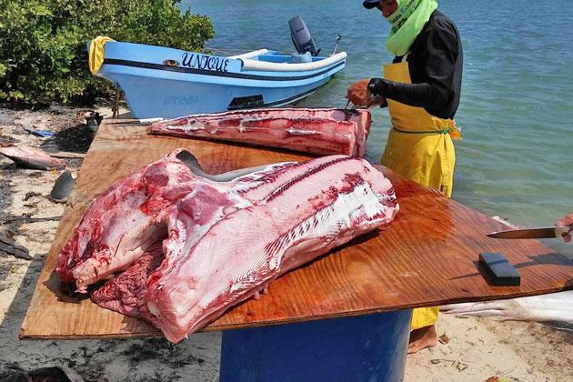 Belizeans Push for Ban on Gill Net Fishing After Senseless Shark Killings