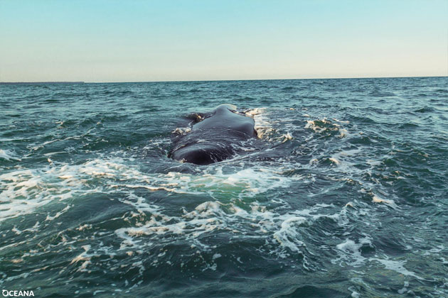 Death Of Humpback Whale Highlights Indiscriminate Nature Of Gillnets in Belize