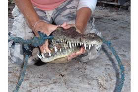 Crocodile Jaws Relocated from San Pedro to Mainland
