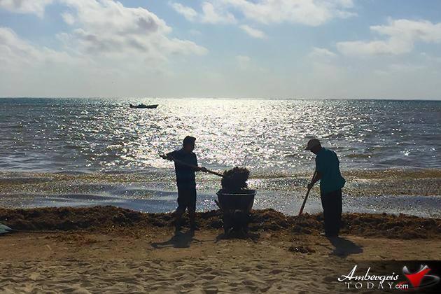 Sargassum is BACK, Islanders Start Raking