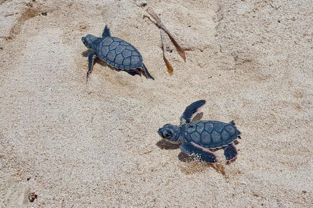 Look at the Baby Turtles Hatching