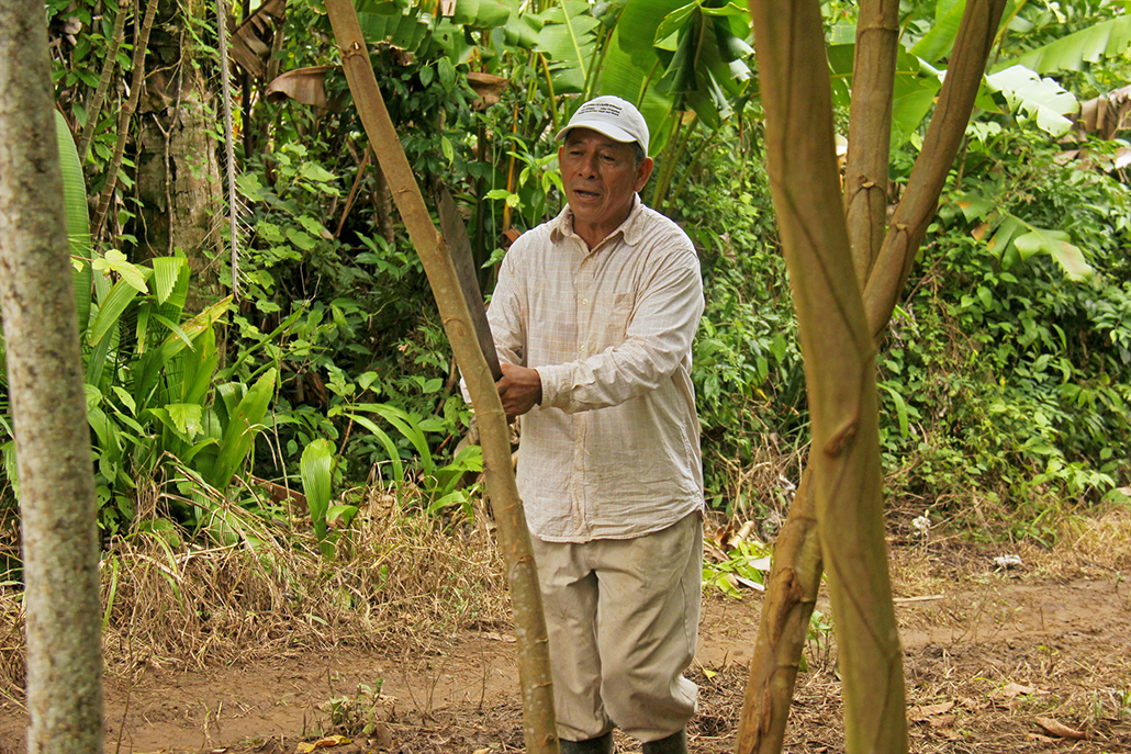 Historical Pruning of Inga Trees in a New Farming System for Belize