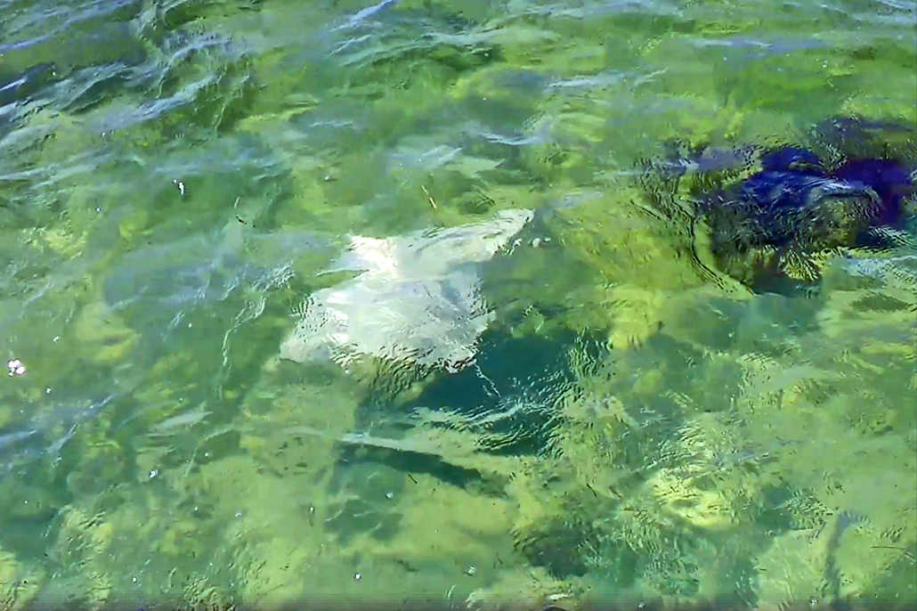 Rare Albino Spotted Eagle Ray Spotted at Bacalar Chico Marine Reserve