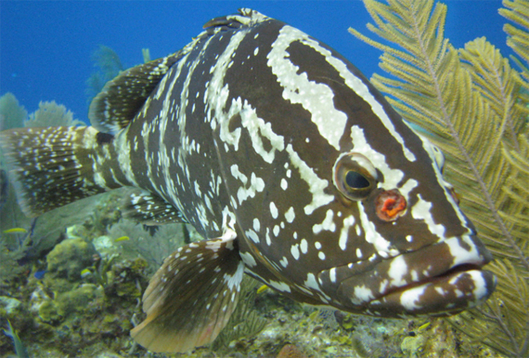 Closure of Nassau Grouper Season