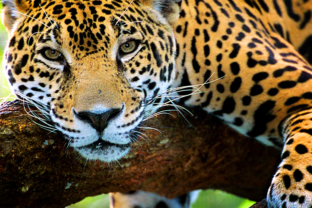 Mexico Proposed Trinational Jaguar Reserve with Belize, Guatemala