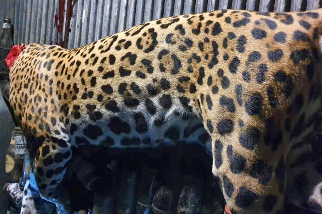 Report of Illegal Poaching of Jaguars
