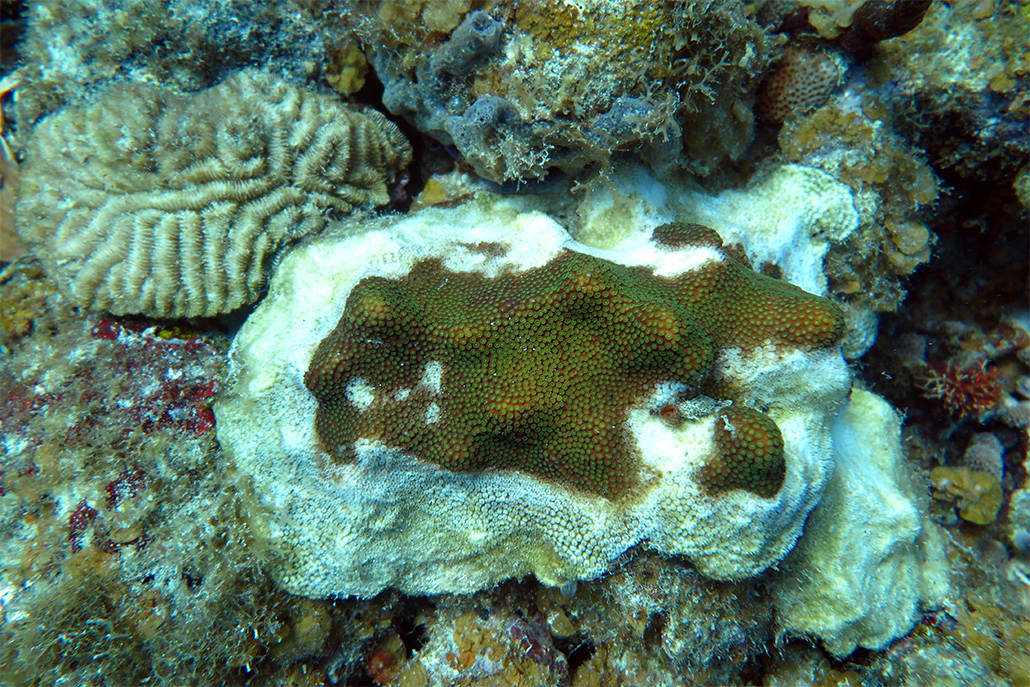 Stony Coral Tissue Loss Disease in Belize