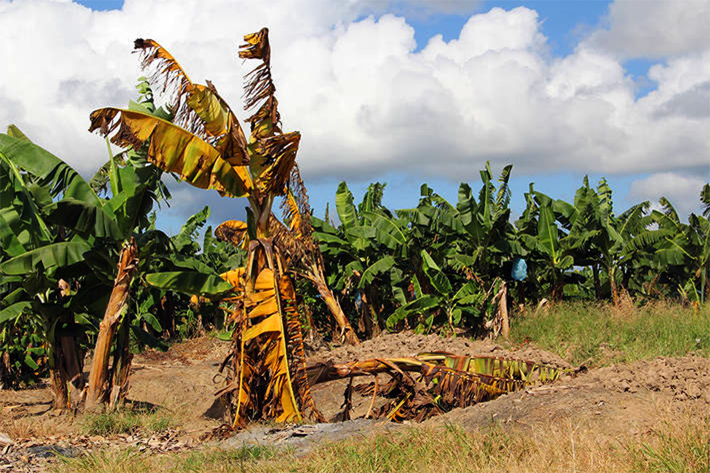 Fusarium Wilt of Bananas - Belize's Banana Industry at Risk