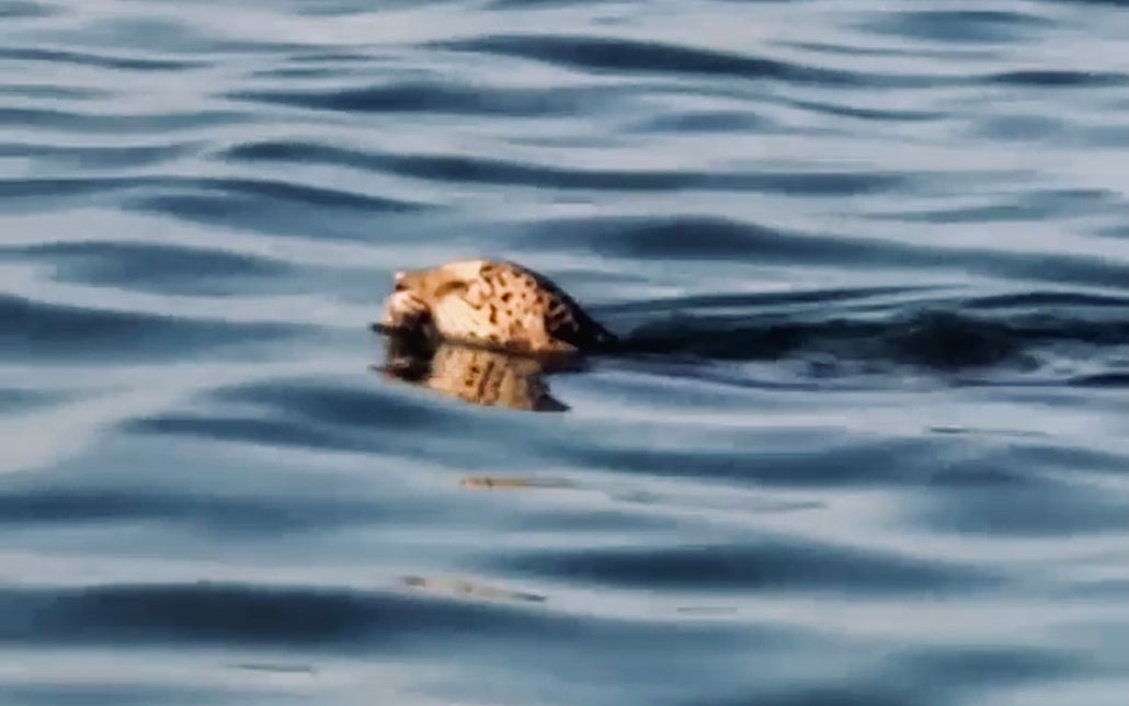 Jaguar Spotted Swimming Across Bacalar Chico Reserve Ambergris Caye