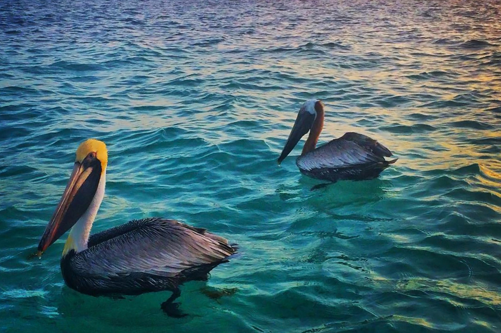 Pelicans Enjoying a Belizean Sunset