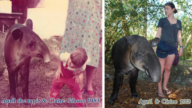 Belize's April the Tapir Turns 30!