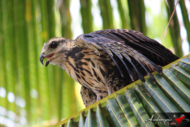 Belize Bird Rescue Releases Rehabilitated Common Black Hawk in Ambergris Caye