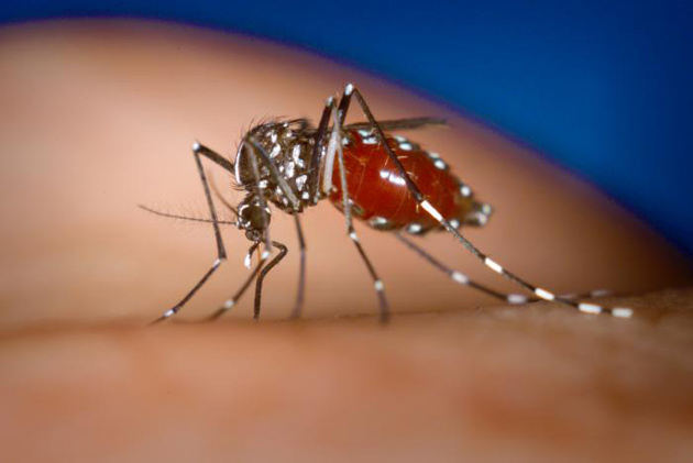 Dengue-carrying Mosquito is Host to Another Disease Spreading in Caribbean