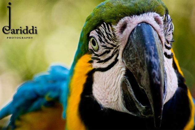 JCariddi Photography, Blue and Yellow Macaw- by Jonathan Cariddi