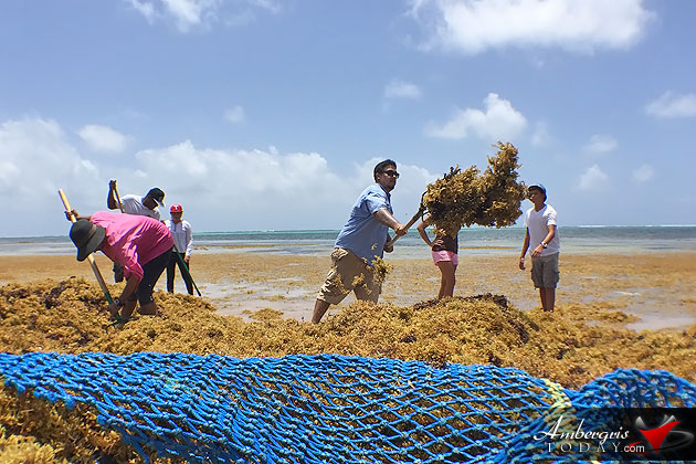 Sargasso Cleanup Campaign promises more beautiful beaches on Ambergris Caye