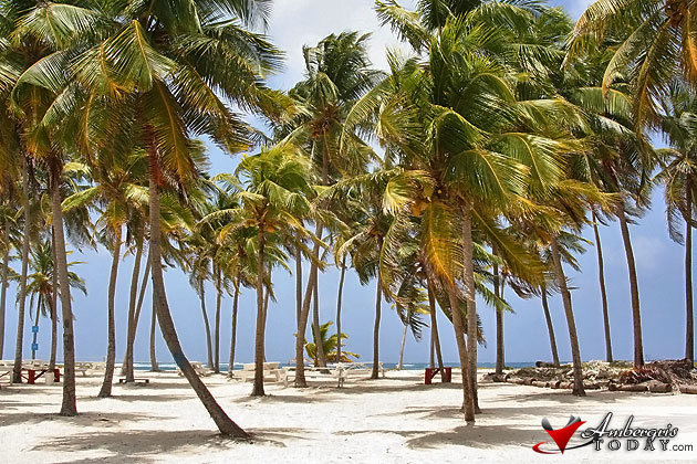 Coconut Trees at Half Moon Caye, Belize