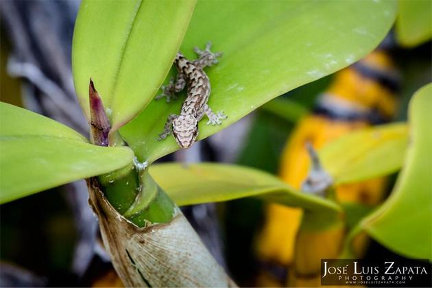 Gecko Wild Orchids