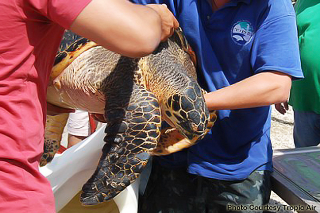 Hawksbill Turtle Rescues in Belize