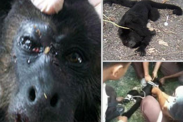 Animal Cruelty - Howler Monkey Beaten to Death