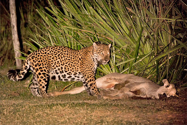 Belize Forest Department Responds to Human-Jaguar Encounters