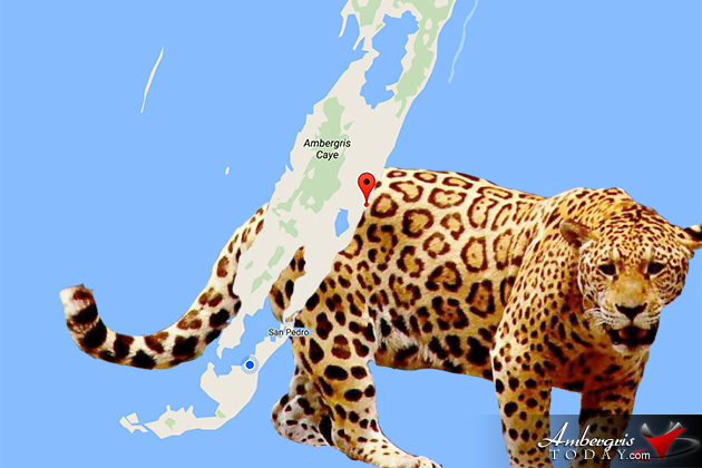Reports of Jaguar Sighting in North Ambergris Caye