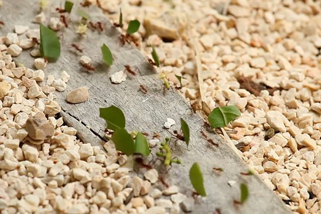 Leaf Cutter Ants Busy in San Pedro