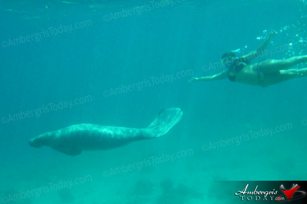 Belize Has Record Number of Manatees Worldwide