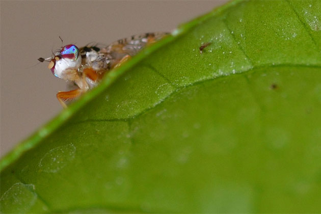 Mediterranean Fruit Fly Detected in Southern Belize
